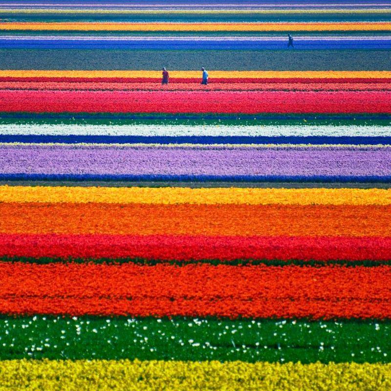 Tulip-field..-Alkmaar-Netherlands